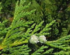 Needles and cone of Alaska cedar